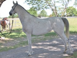 Regal Glow (Dynamis X Bint Regal Lace) 2004